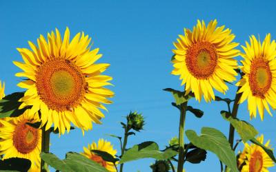 Comunicato stampa – Filiera olio vegetale ad uso energetico in Toscana: possibile ma senza burocrazia